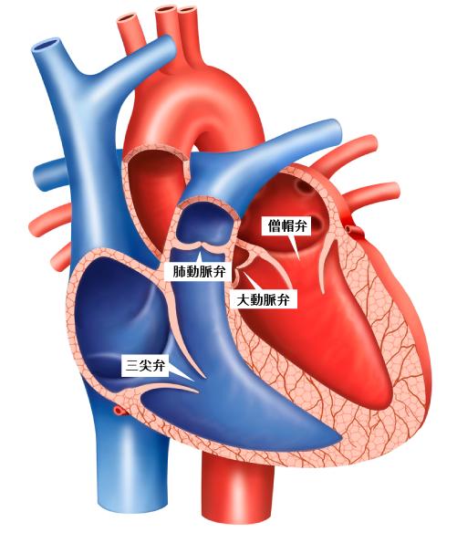 心臓弁膜症 守口市の循環器内科 ちはるクリニック  基準 治療